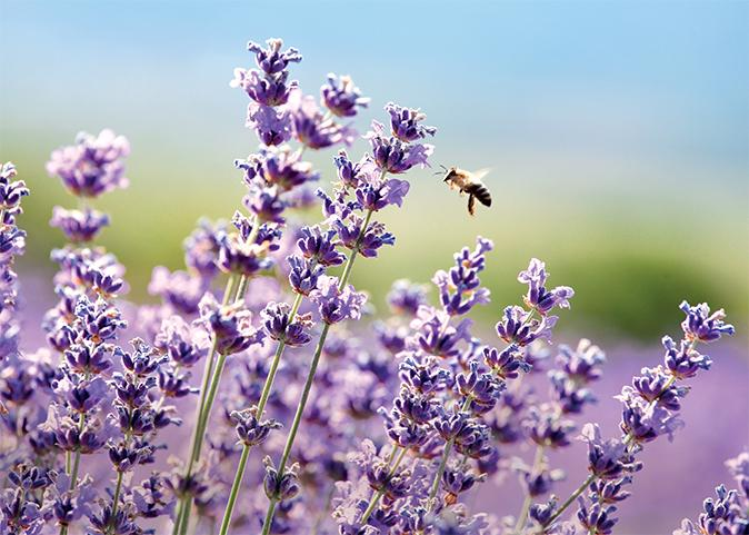 Natural ingredients lavender